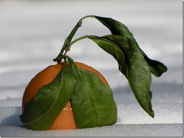 orange in snow by kenneth hawes via flickr
