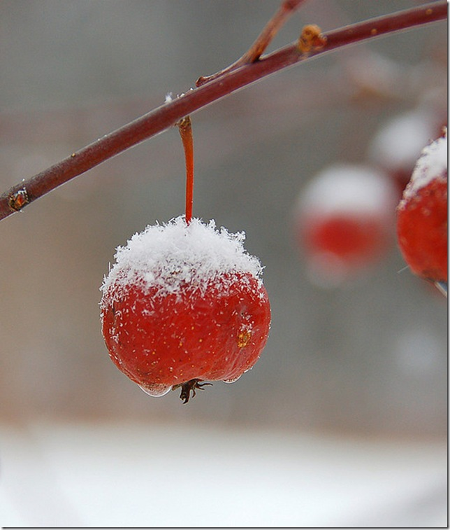 perfectly sugared and glazed crabapple by paul moody via flickr