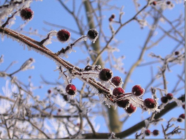 snow fruit by blumenbiene via flickr