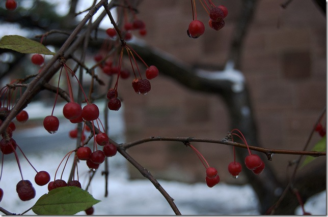 snow fruits by claire whitehouse via flickr