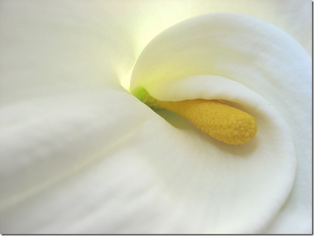 white lily by Photofinish 2009 via flickr