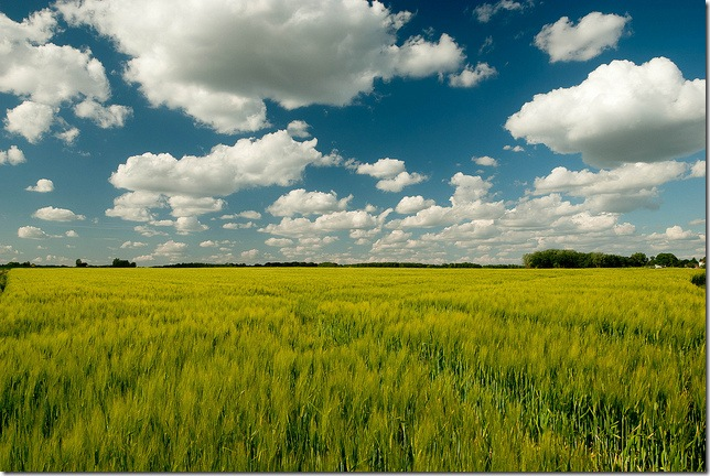 wheat field 2 by the aucitron