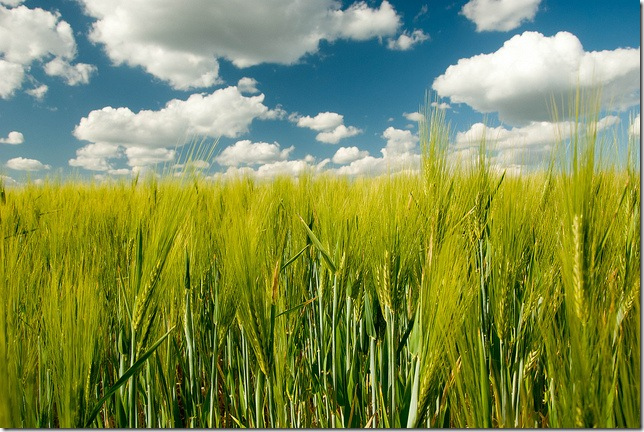 wheat field by the aucitron