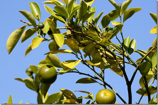 National Arboretum Lime Tree by Mr T in DC via Flickr