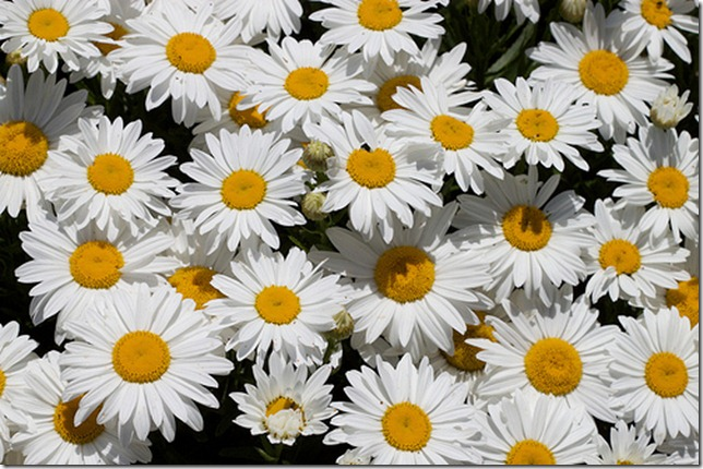 Daisies by Niallkennedy via Flickr