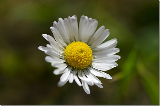 Daisy by Peter Pearson via Flickr