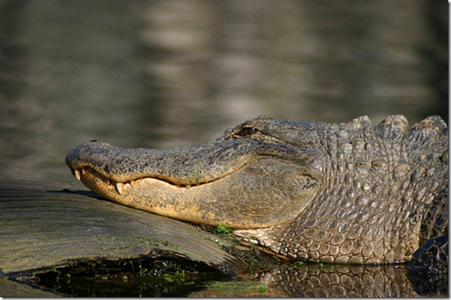 alligator 2 by Ryan Somma via flickr