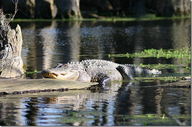 alligator 3 by Ryan Somma via flickr