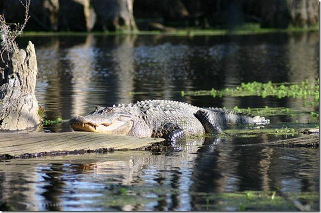 alligator 3 by Ryan Somma via flickr