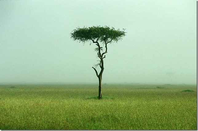 acacia tree on the grassland by autan via flickr