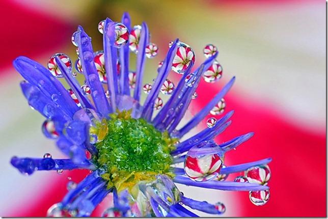petunia peppermint galaxy by Steve took it via flickr
